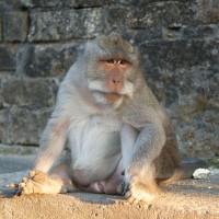 Makaken Affe in Bali