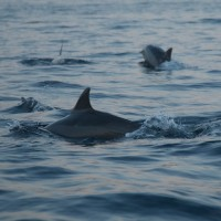Schwimmen Delphin