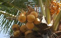 Früchte in den Bäumen