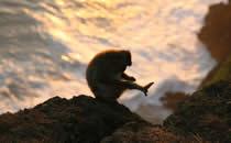 Makaken und weitere Affenarten auf Bali